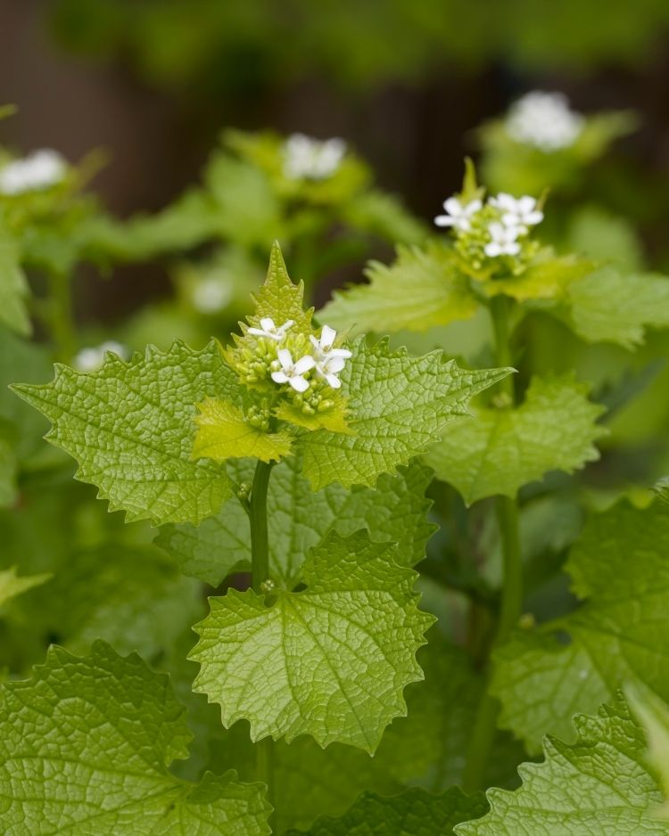 What to Forage in May – The Best Wild Food Plants to Harvest