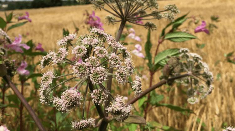 Wild Angelica | Angelica sylvestris