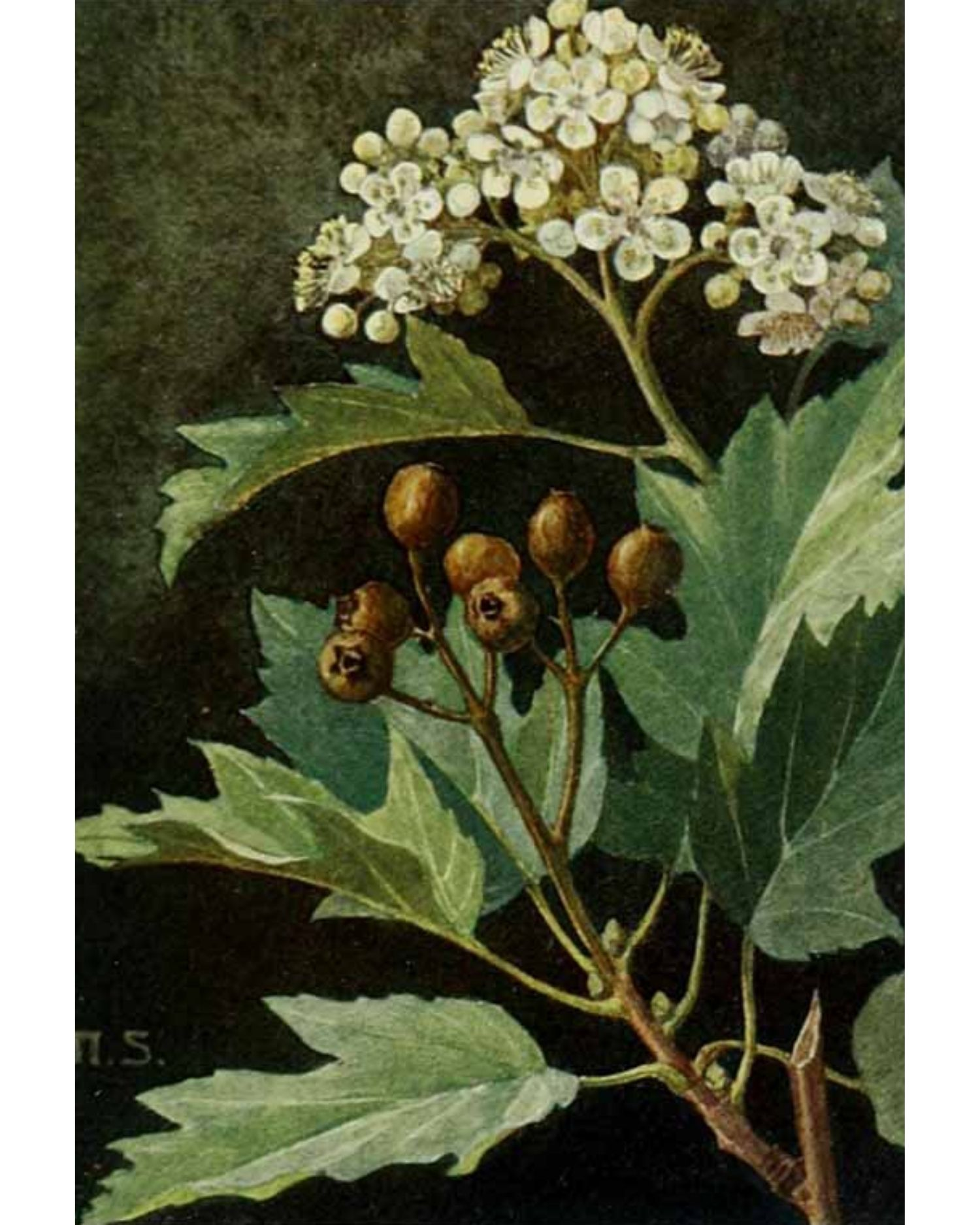 Wild Service or Chequers Tree - A Foraging Guide to Its Food, Medicine and Other Uses