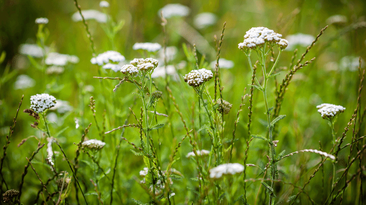 Yarrow - Its Past and Present Uses as Food and Medicine - Achillea millefolium