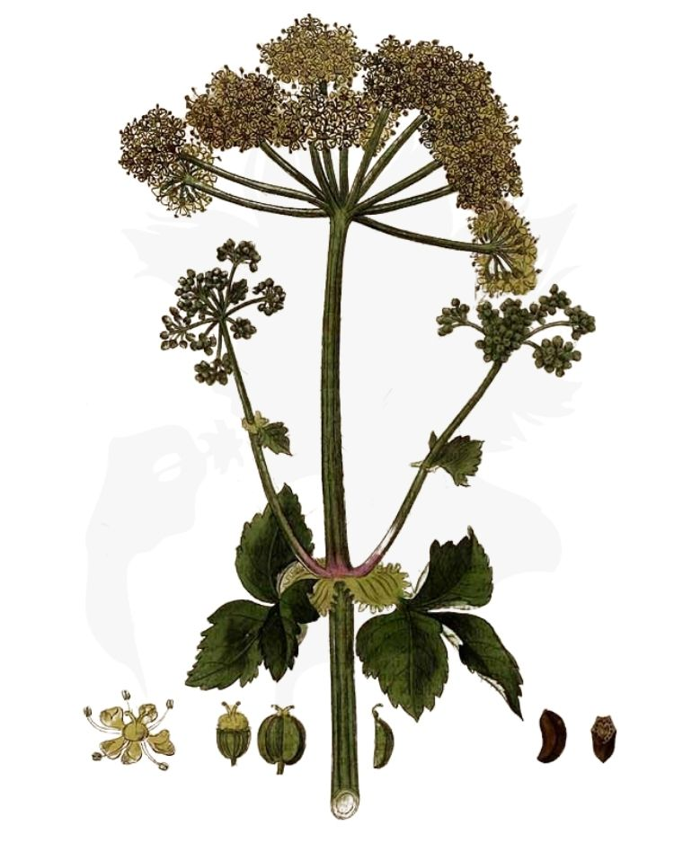 Alexanders - A Foraging Guide to Its Food, Medicine and Other Uses