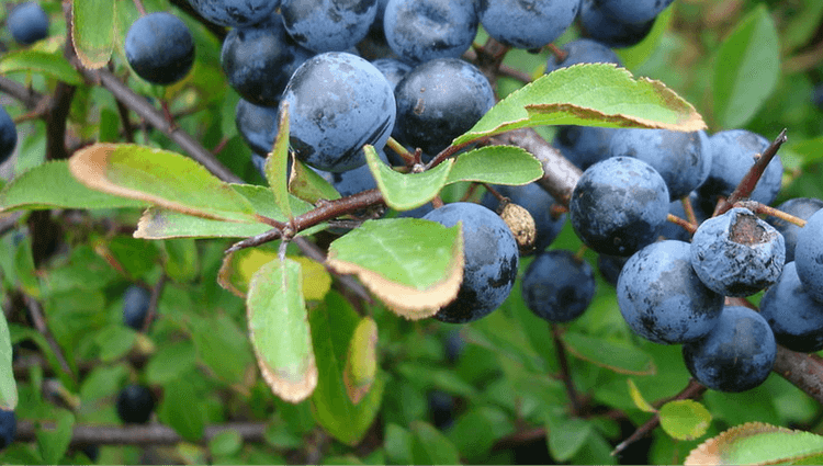 Blackthorn or Sloe - What to Forage in November