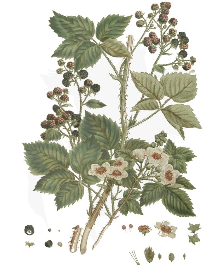 Blackberry or Bramble - A Foraging Guide to Its Food, Medicine and Other Uses