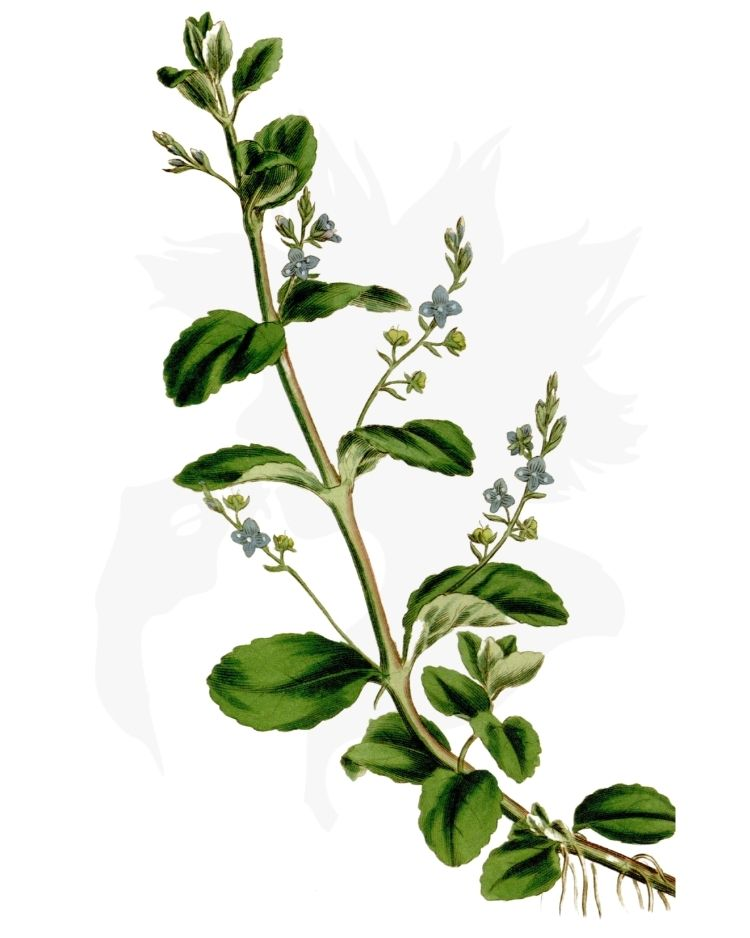 Brooklime - A Foraging Guide to Its Food, Medicine and Other Uses