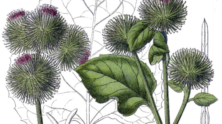 Burdock - Food, Medicine and Other Uses - Arctium spp.