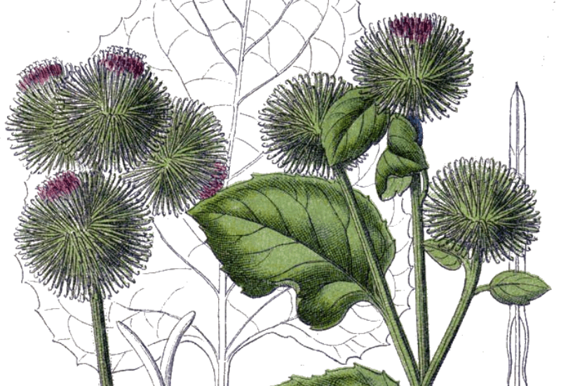 Burdock - Food, Medicine and Other Uses - Arctium spp.