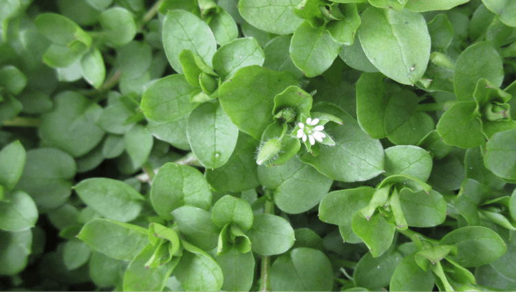 Chickweed - What to Forage in November