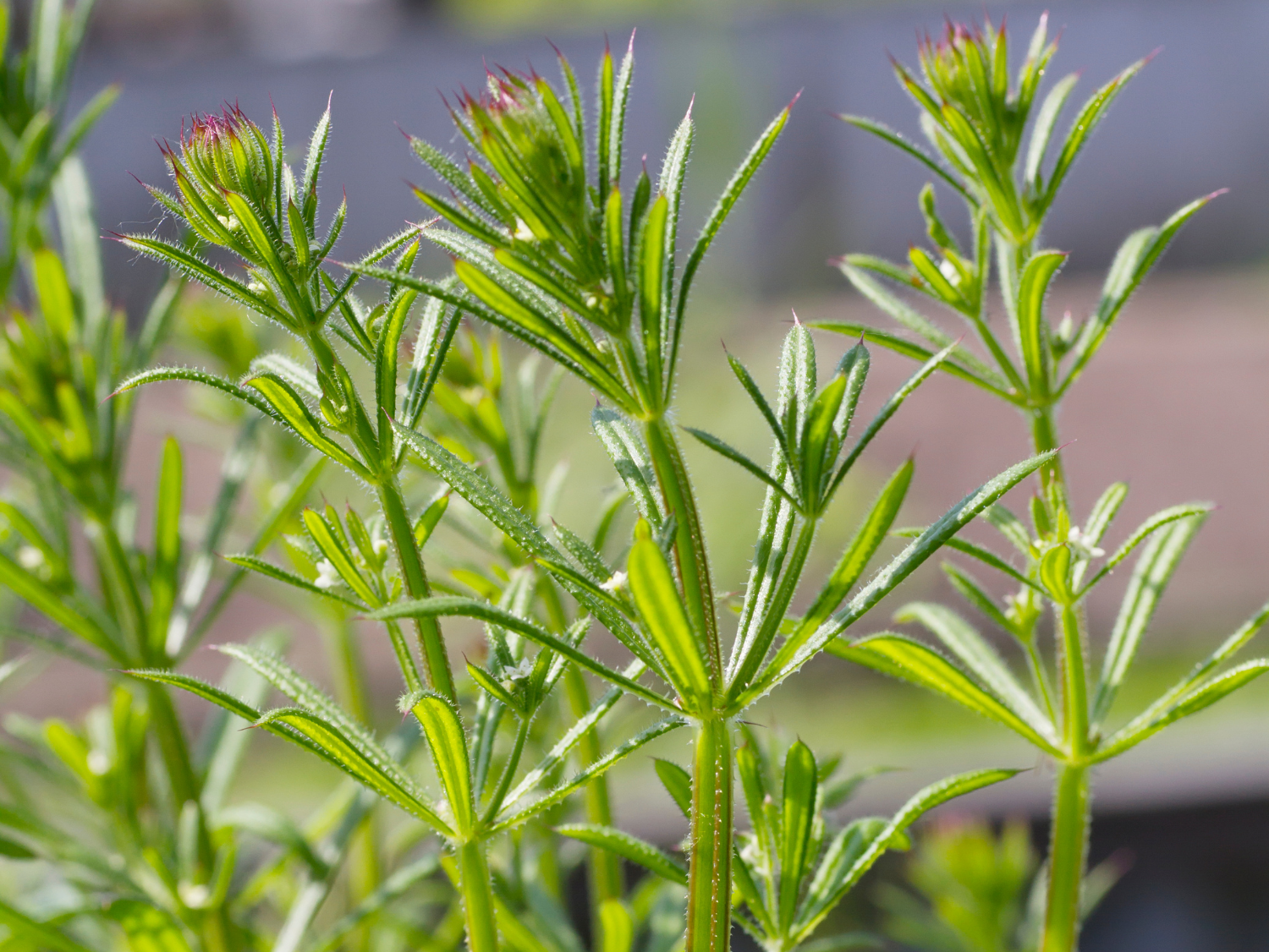 Cleavers - A Foraging Guide to Its Food, Medicine and Other Uses