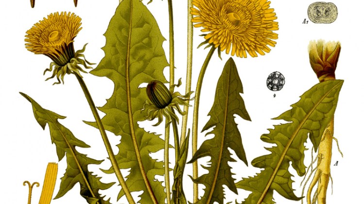 Dandelion - Its Traditional and Modern Use As Food and Medicine - Taraxacum officinale
