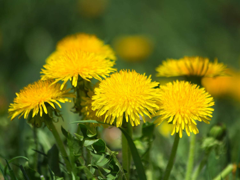 Dandelion - Uses as Food and Medicine - Taraxacum officinale