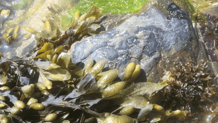 Devon Seaweed Foraging Courses