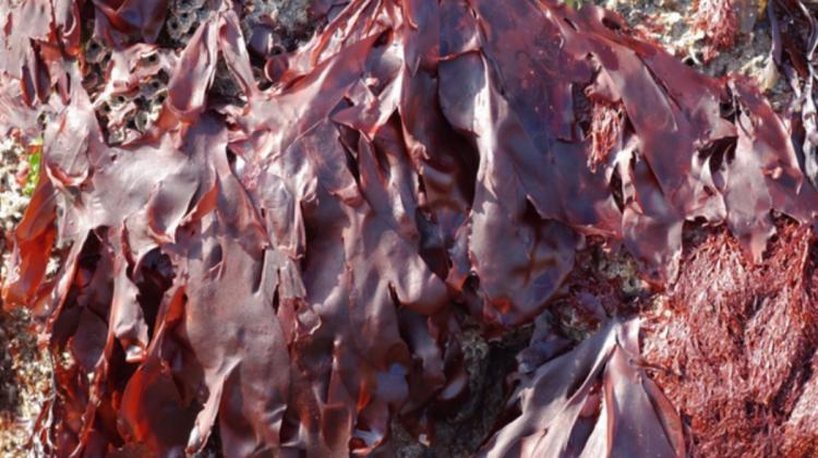 Dulse seaweed - Palmaria palmata