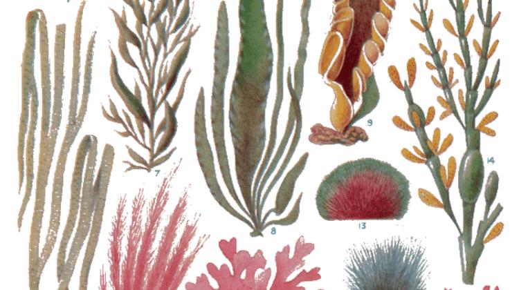 Edible Seaweed UK