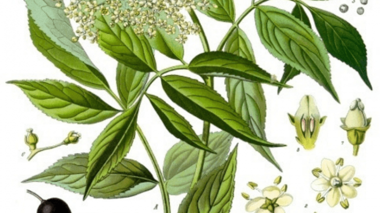 Elder - Its Traditional and Modern Use As Food and Medicine - Sambucus nigra