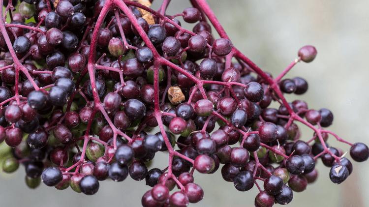 Elderberry Cordial Syrup Recipe