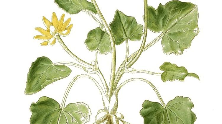 Ficaria verna - Lesser celandine