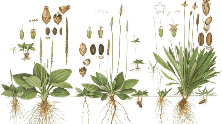 Ribwort and Greater Plantain: Traditional and Modern Use As Food and Medicine
