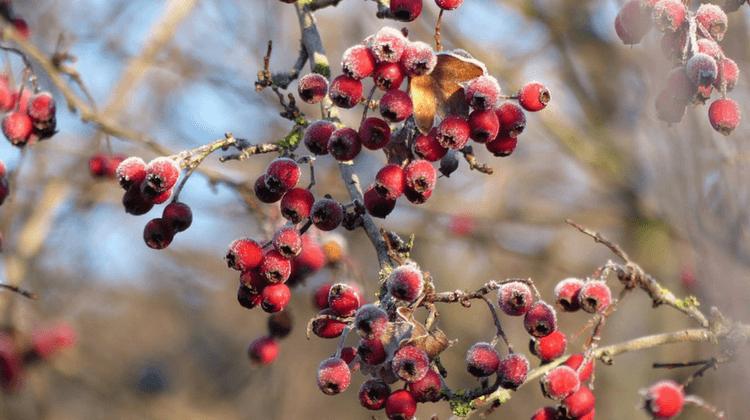 Hawthorn Berries | Crataegus monogyna