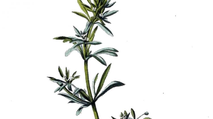 Galium aparine Cleavers