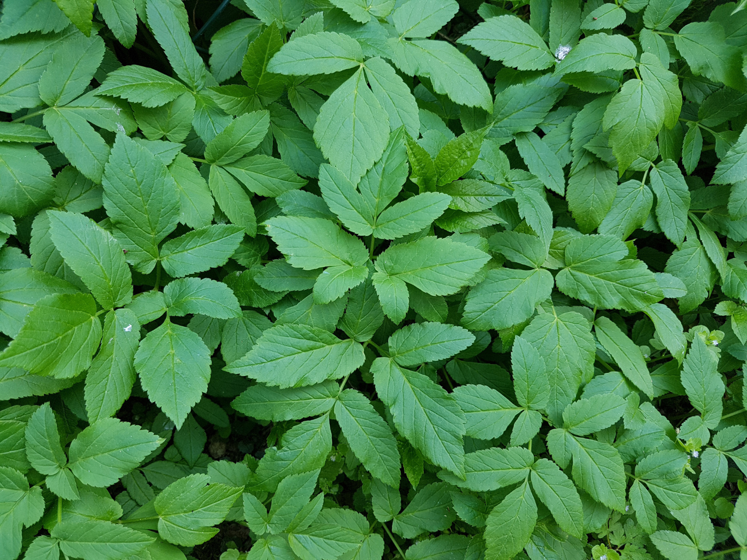 Ground Elder - A Foraging Guide to Its Food, Medicine and Other Uses