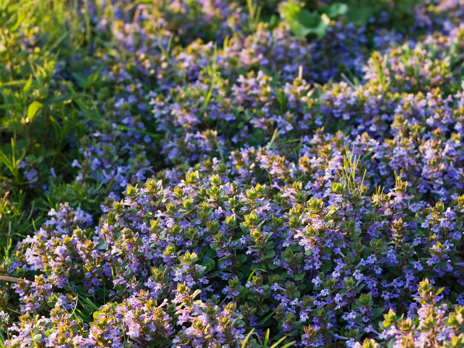 Ground Ivy - A Foraging Guide to Its Food, Medicine and Other Uses