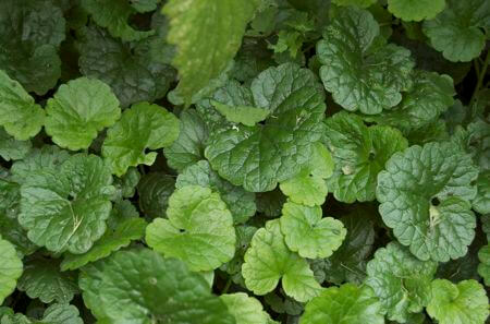 Ground Ivy Mayonnaise Recipe