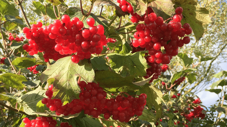 Guelder Rose Recipe
