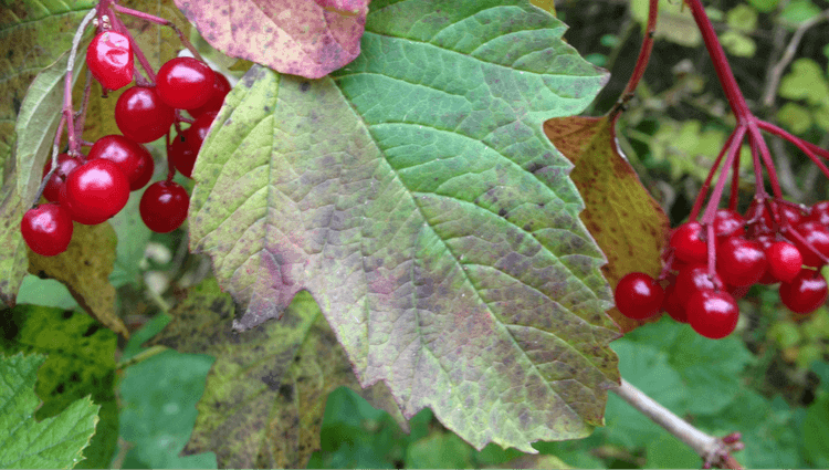 Guelder Rose - What to Forage in November