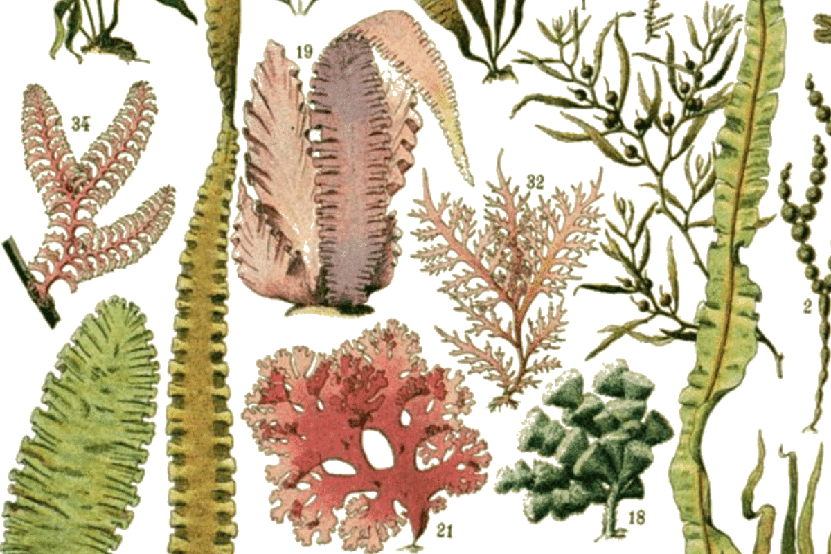 Guide to Edible Seaweeds