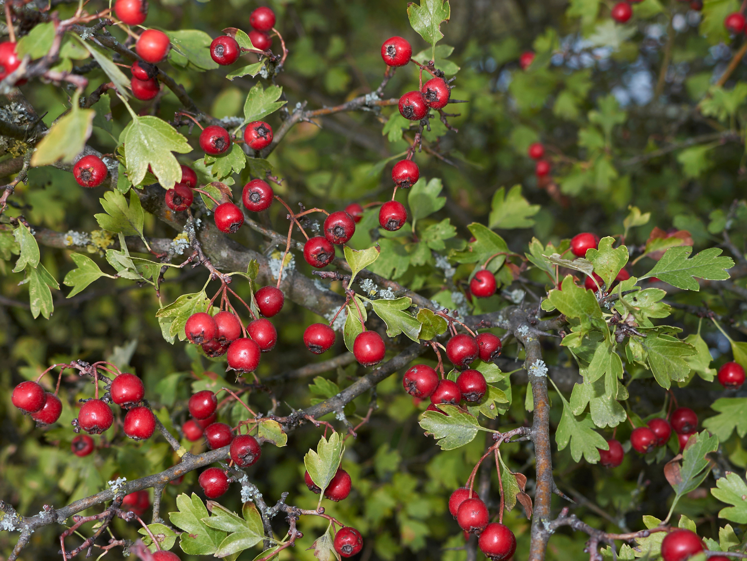 Hawthorn - A Foraging Guide to Its Food, Medicine and Other Uses