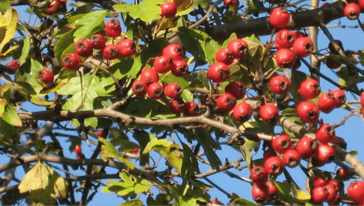 Hawthorn - What to Forage in November