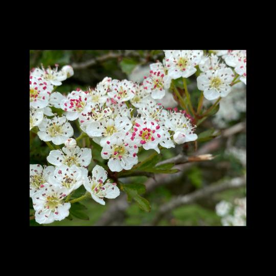 Hawthorn flower syrup recipe