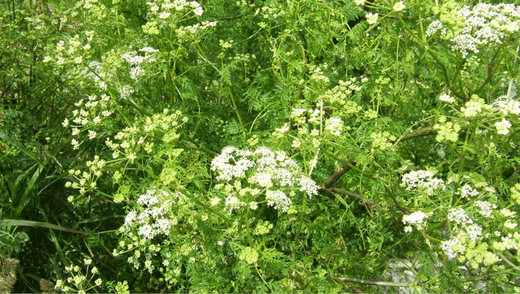 Hemlock or Cow Parsley