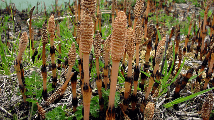 Is Field Horsetail Edible?
