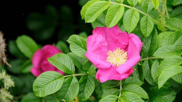 Japanese Rosehip Identification