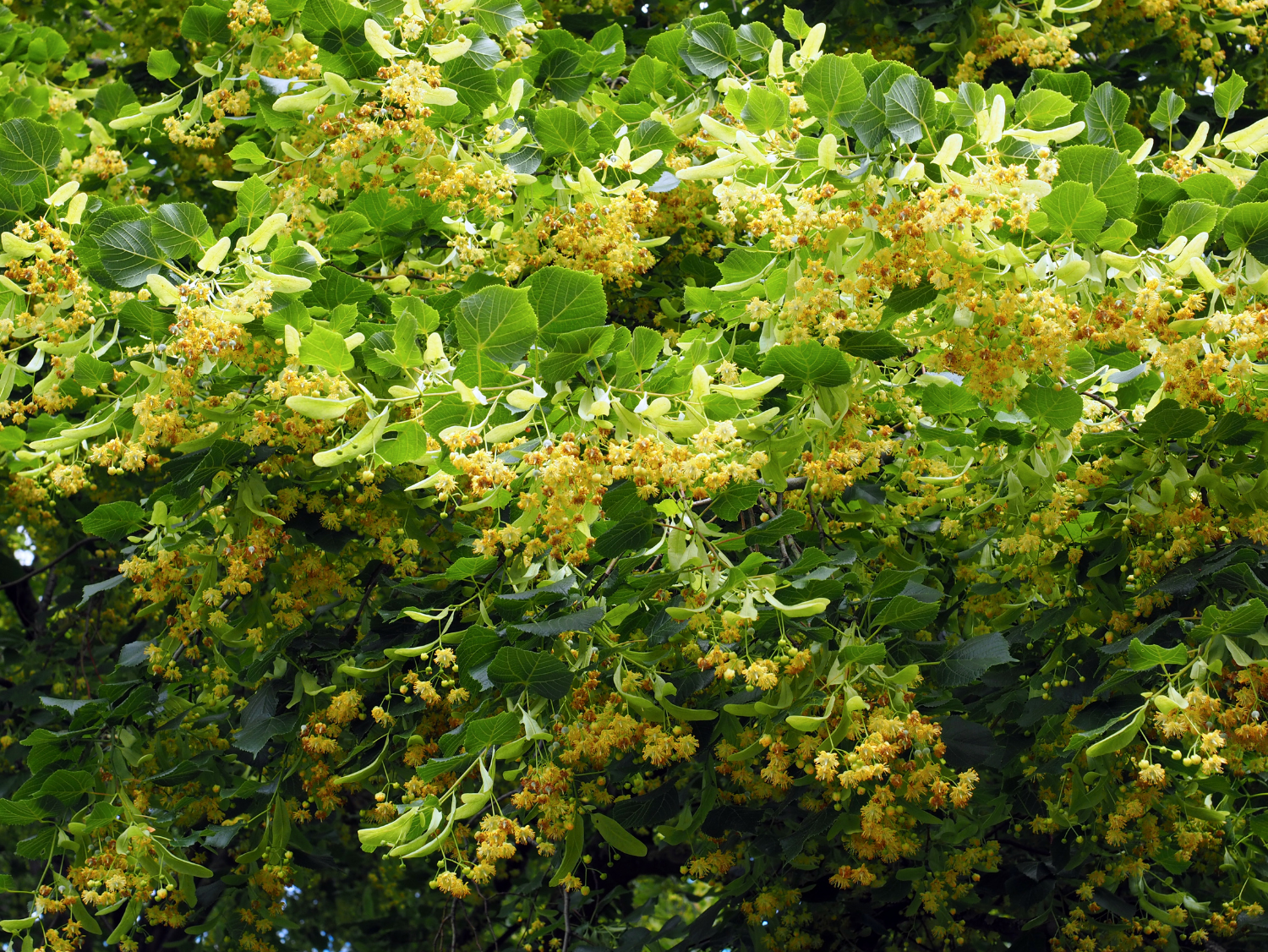 Lime or Linden - A Foraging Guide to Its Food, Medicine and Other Uses