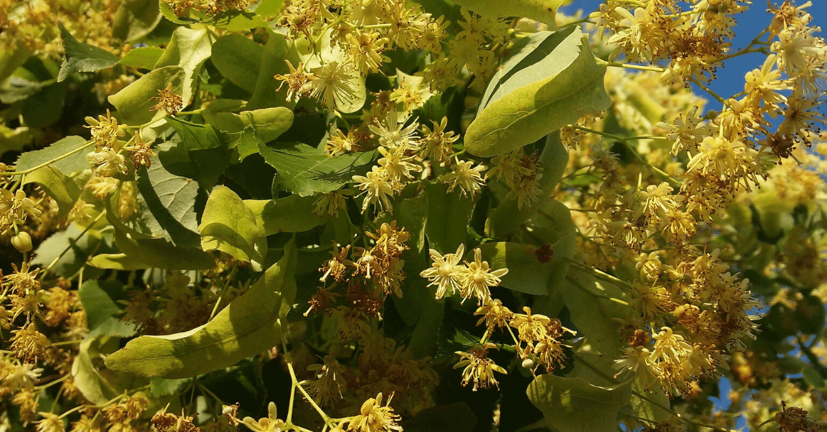 Lime or Linden – A Foraging Guide to Its Food, Medicine and Other Uses