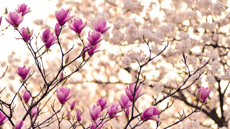 List of Edible Magnolia Flowers