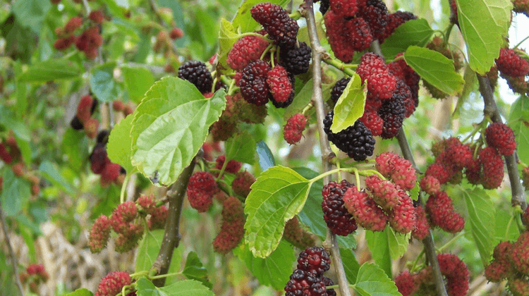 Mulberry Fruit Tree
