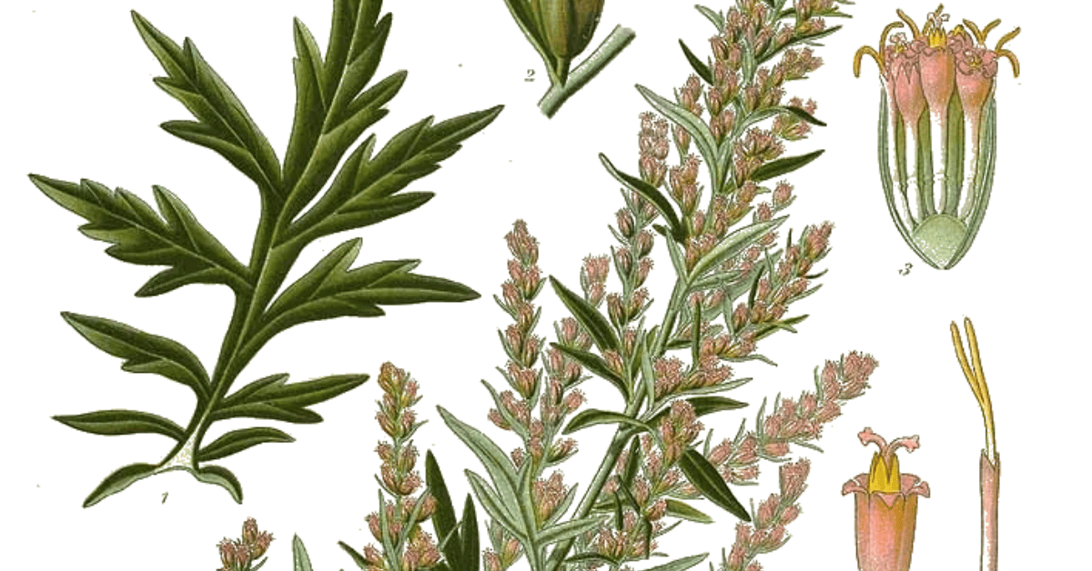 Mugwort A Foraging Guide To Its Food Medicine And Other Uses