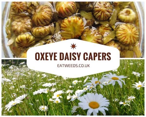 Oxeye Daisy Caper Recipe