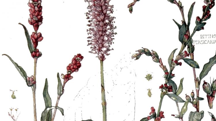 Persicaria hydropiper - Water pepper