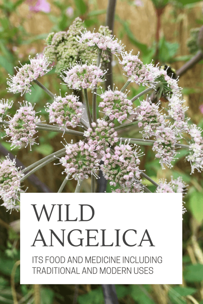 In this post, you'll learn the food and medicine of this amazing plant, including parts used, harvest time, nutrition and other ways to use wild Angelica.