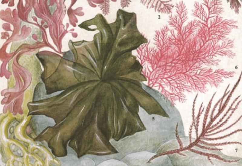 Porphyra umbilicalis - Laver