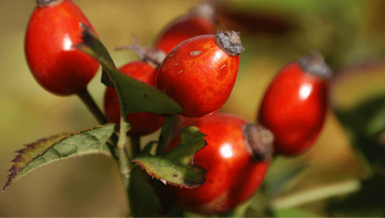 Rosehips - What to Forage in November