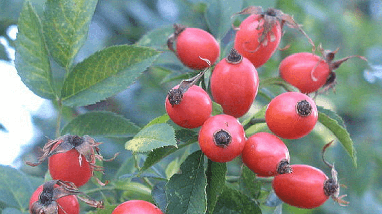 Bildresultat för rosehips