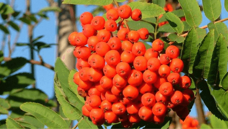 Rowan - What to Forage in November