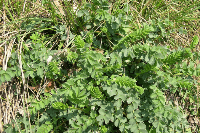 Salad Burnet Recipe