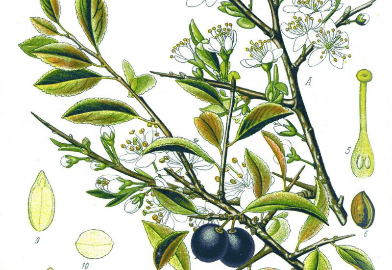 Sloe - Food, Medicine and Other Uses - Prunus spinosa
