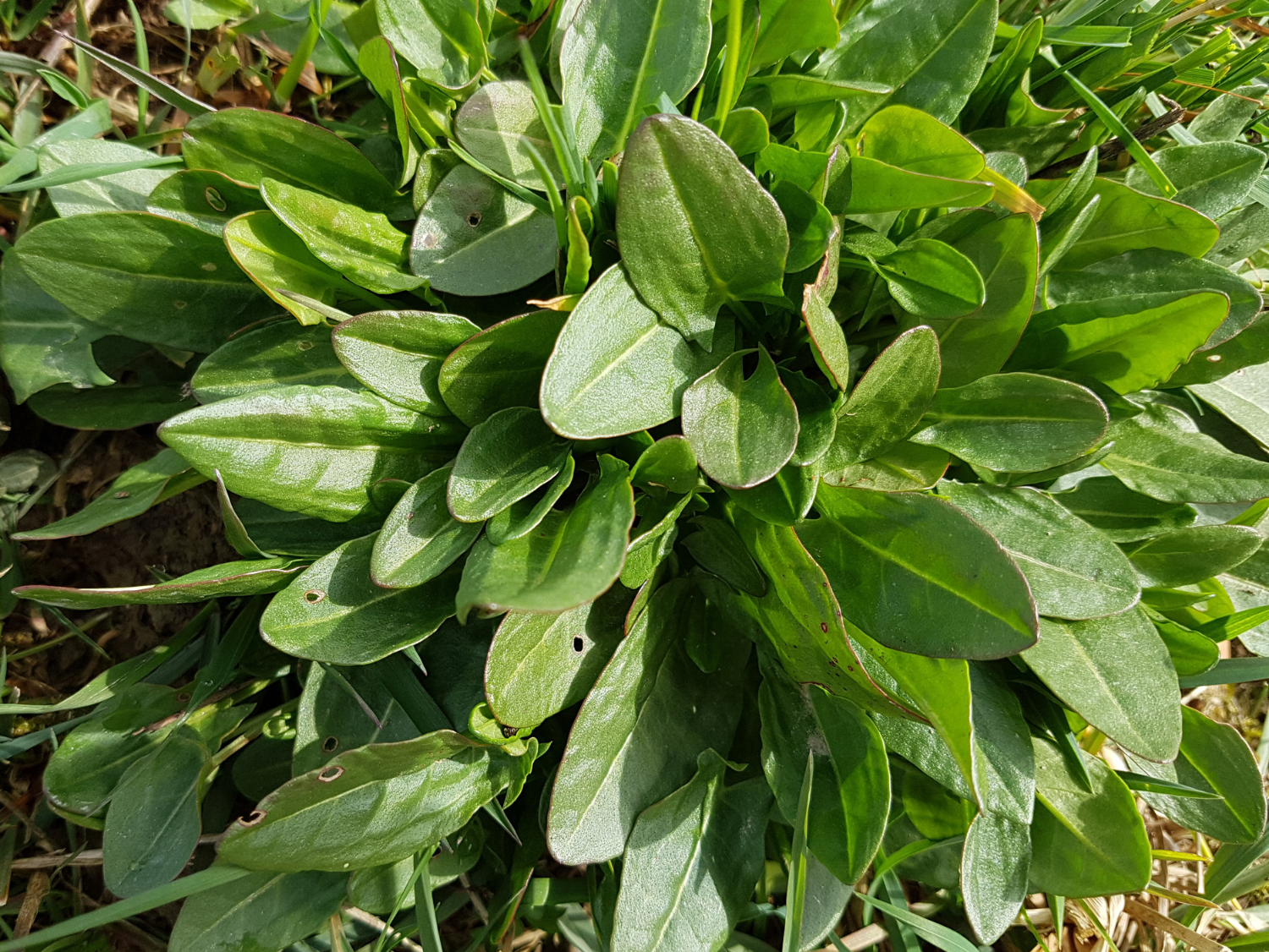 Sorrel - A Foraging Guide to Its Food, Medicine and Other Uses - Rumex acetosa